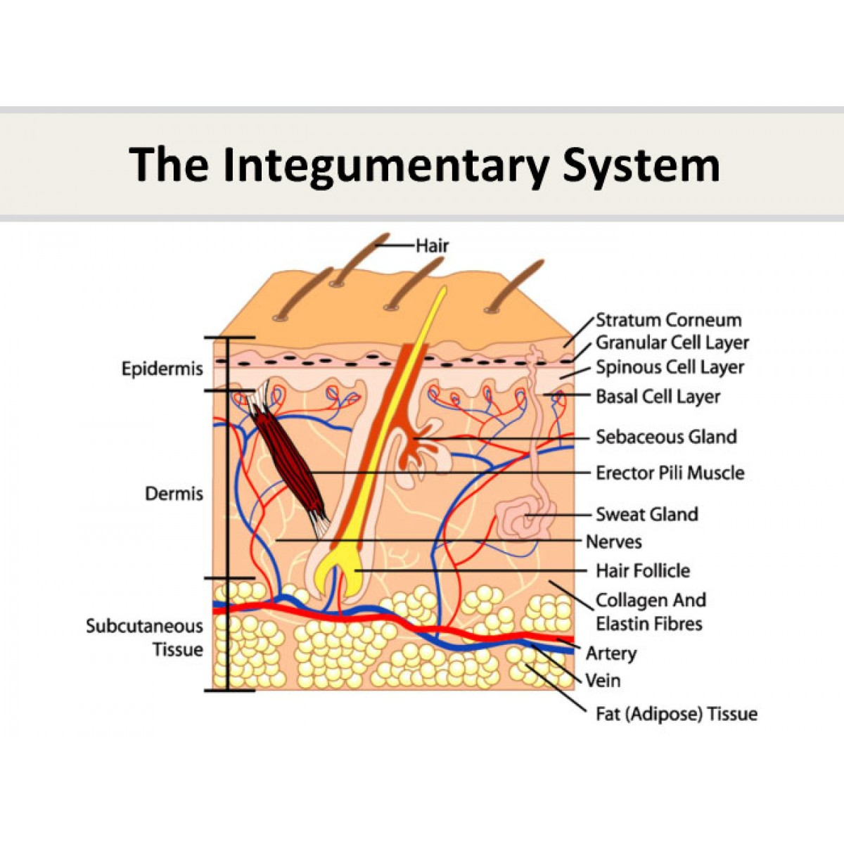 The Integumentary System Aquire Training Solutions